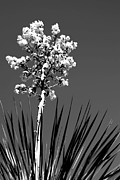 Dry Creek Photos - Yucca by Anthony Citro