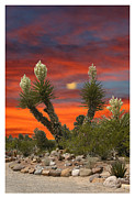 Desert Sunsets Acrylic Prints - Yucca blooming sunset-moonset Acrylic Print by Jack Pumphrey