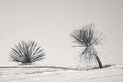 Ansel Adams Posters - yucca in White sands Poster by Ralf Kaiser