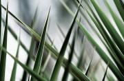 Layer Prints - Yucca Plant Leaves Print by Laura Fowler - Printscapes