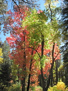 Oak Creek Canyon Posters - Yummy Fall Colors Poster by Sandy Tracey