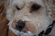 Maltese Photos - Yummy Snow by Lori Tambakis