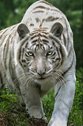 Wild Animals Digital Art Metal Prints - Zabu Metal Print by Big Cat Rescue