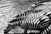 Abstract - Zebra - Black or White Stripes by Darcy Michaelchuk