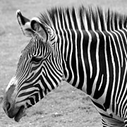 Horse Images Digital Art Framed Prints - Zebra - Here it is in Black and White Framed Print by Gordon Dean II