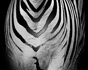 Black And White Mountain Prints Framed Prints - Zebra 1 Framed Print by Cheryl Young