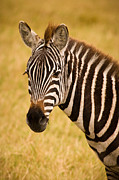 Africa Framed Prints - Zebra Framed Print by Adam Romanowicz