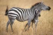 Zebra And Foal Print by Johan Elzenga