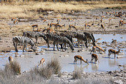 Springbok Prints - Zebra And Springbok Drinking At A Waterhole Print by Jlr