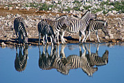 Waterhole Framed Prints - Zebra At Etosha Waterhole  Framed Print by David Kleinsasser