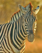 Backlit Photo Originals - Zebra at Sunset by Tom Cheatham