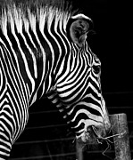 Zebra Photo Posters - Zebra Poster by Brendan Reals
