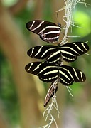 Sabrina L Ryan Metal Prints - Zebra Butterflies Hanging On Metal Print by Sabrina L Ryan