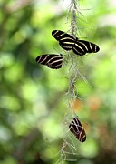 Backlit Prints - Zebra Butterflies Hanging Out Print by Sabrina L Ryan