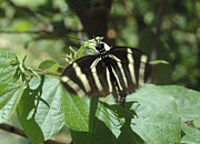 Fluttering Posters - Zebra Butterfly Action Shot Poster by Tom Wurl