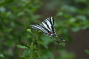 Zebra Butterfly Acrylic Prints - Zebra Butterfly Acrylic Print by Brenda Doucette