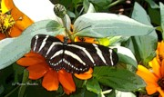 Zebra Butterfly Acrylic Prints - Zebra Butterfly Acrylic Print by Norma Boeckler