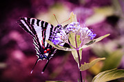 Zebra Butterfly Acrylic Prints - Zebra  Acrylic Print by Christine Figler