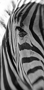 Christine Amstutz - Zebra close up