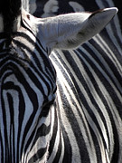 Zebra Pyrography - Zebra Close Up by Michael Key