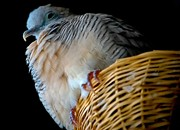 White Wicker Posters - Zebra Dove from Above Poster by DigiArt Diaries by Vicky Browning
