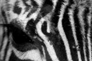 Dana Oliver Photos - Zebra Eye by Dana  Oliver