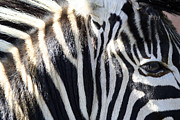 Heather Lennox - Zebra Face