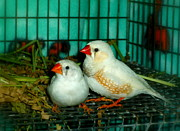 Tweets Posters - Zebra Finch Pair Poster by Renee Trenholm