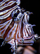 Zebra Face Prints - Zebra Fish Print by Denise Keegan Frawley