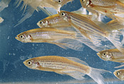 Genes Art - Zebra Fish Multiply In A Water Tank by O. Louis Mazzatenta