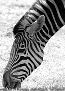 Zebra Photo Posters - Zebra Grazing Poster by Sabrina L Ryan