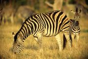 Zebras Photos - Zebra Grazing With Young by Beverly Joubert