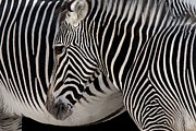 Head Framed Prints - Zebra Head Framed Print by Carlos Caetano