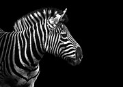 Nashville Photo Metal Prints - Zebra In Black And White Metal Print by Malcolm MacGregor