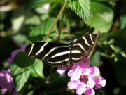 Zebra Butterfly Acrylic Prints - Zebra in the Garden Acrylic Print by Mary Hurst