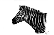 Drawing Drawings - Zebra by Josh Rowland