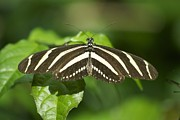 Black Top Framed Prints - Zebra Longwing 2952 Framed Print by Michael Peychich