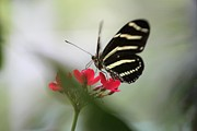 Theresa Willingham - Zebra Longwing Aflutter