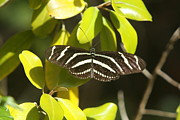 Zebra Butterfly Acrylic Prints - Zebra Longwing Butterfly Acrylic Print by Christiane Schulze