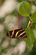 Zebra Longwing Butterfly Print by Dejan Jovanovic