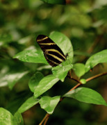 Indiana Art Framed Prints - Zebra Longwing Butterfly Framed Print by Sandy Keeton