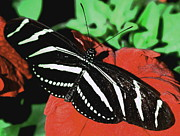 Shades Of Red Posters - Zebra Longwing Poster by Carol Komassa