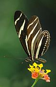 Zebra Butterfly Acrylic Prints - Zebra Longwing number 2 Acrylic Print by R D Frazier