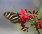 Theresa Willingham - Zebra Longwing