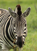 Zebra Looking At You Print by Denise Dean