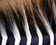 Kelly McNamara - Zebra Mane