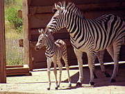 Horse Stable Digital Art Posters - Zebra Mom and Baby Poster by Methune Hively
