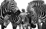 Stripes Drawings Acrylic Prints - Zebra Nudge  Acrylic Print by Peter Piatt