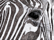 Hand Drawn Drawings - Zebra Portrait by Karl Addison
