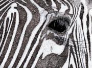 Zebra Portrait Print by Karl Addison